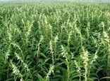 توسعه کشت کنجد در مزارع استان کرمان