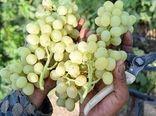 برداشت 30 رقم جدید و زودرس انگور در تاکستانهای خراسان شمالی