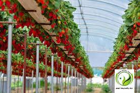 چهار هکتار توت فرنگی گلخانهای در سطح استان کردستان وجود دارد