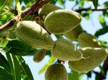 پیش بینی تولید ۱۰۰ تن بادام از باغات شهرستان البرز