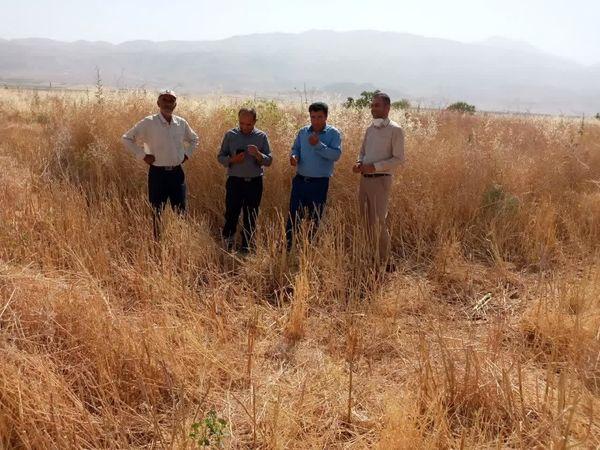 کشت سیاه دانه در یکصد هکتار از اراضی کشاورزی خانمیرزا