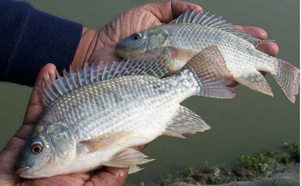 رهاسازی 140 هزار قطعه ماهی تیلاپیا در استان سمنان