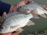 واردات ماهی تیلاپیا ممنوع شد + تصویرنامه