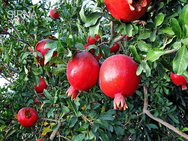 ۲۳ هزار تن انار در طارم تولید و روانه بازار مصرف می شود