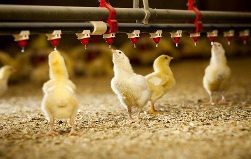 گذر از مرغداری سنتی به صنعتی/ افزایش تولید با هزینه کمتر