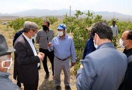 مبارزه با کانونهای کرم خراط در استان کرمان