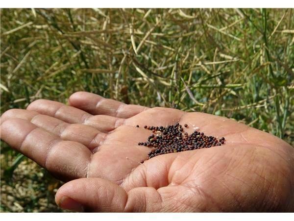 135 تن کلزا از کشاورزان ساروی خریداری شد