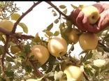 پیش بینی برداشت بیش از ۲۰۰ هزار تن محصول سیب