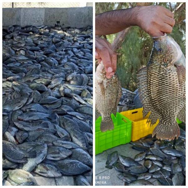 براشت ۲ تن ماهی تیلا پیا  از استخر بنیاد تعاون زندانیان فردوس