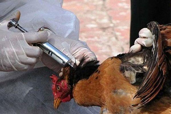 دستگاهها همراه نشوند، آنفلوآنزای پرندگان مهار نمیشود