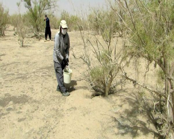 اجرای طرح مبارزه با موش صحرایی در جرقویه علیا