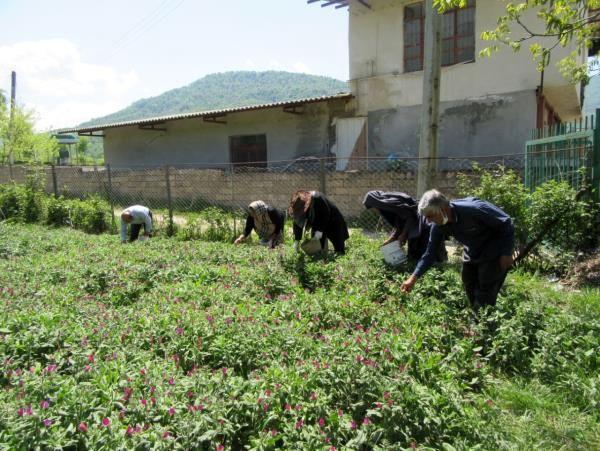 تولید 130 تن گل گاوزبان در نکا