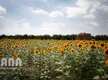 مزرعه آفتابگردان در گرگان