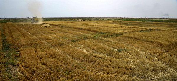 سطح زیر کشت گندم در اصفهان ۲ هزار هکتار افزایش یافت