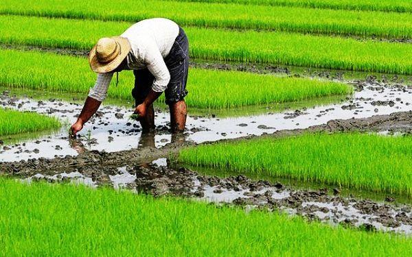3600 هکتار از شالیزارهای قزوین برای کشت برنج آماده شد