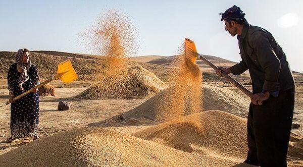 خرید تضمینی بیش از ۱۱ هزار تن گندم در خوزستان