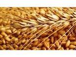 خرید تضمینی 340 تن گندم از کشاورزان بابل/ خوشهدهی 19 هزار هکتار از مزارع برنج