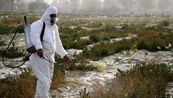 مبارزه با آفت ملخ صحرایی به 45 هزار هکتار رسید