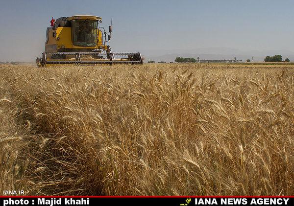 پیشینی برداشت ۴۳۰ هزار تن گندم در زنجان