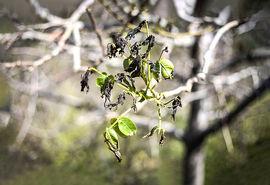 پیشبینی برداشت بیش از 35 هزار تن انگور در شاهرود