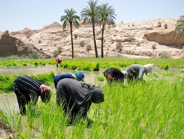 آغاز کشت برنج در سایه سار نخل های طبس