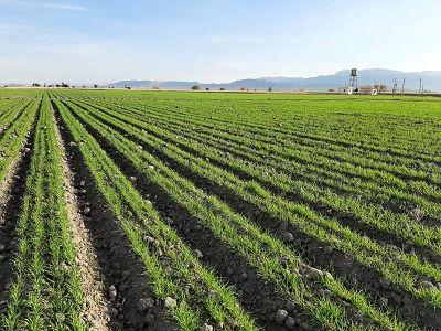 طرح ملی گندم بنیان در سطح 12 هزار هکتار از اراضی زراعی فارس اجرا شد