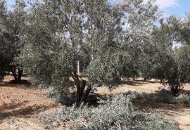 اصلاح و واکاری باغ های زیتون در مرودشت