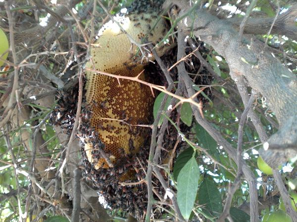 شهرستان دشتستان یکی از مستعدترین مناطق تولید عسل کنار در کشور