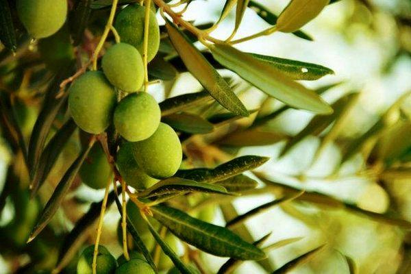تولید ٢ هزار و ٥٩١ تن زیتون در استان خوزستان
