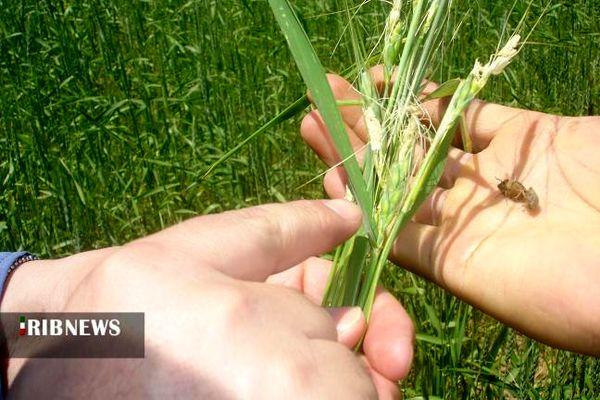 مزارع رها شده تهدیدی برای افزایش جمعیت آفت سن گندم در خراسان شمالی