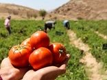 آغاز ساماندهی کاشت گوجه فرنگی بهاره