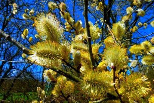 آغاز برداشت شکوفه های درختچه بیدمشک در آذربایجان غربی