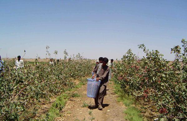 بیش از 7 هزارتن پسته در سیستان و بلوچستان برداشت شد
