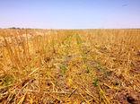 حفاظت از تنوع زیستی خداداد در دل مزارع گندم بنیان خوزستان
