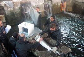 تعیین جنسیت ماهیان خاویاری به روش اولترا سونوگرافی در فارس