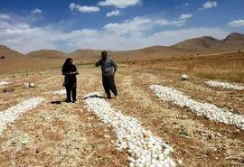 ۳ هزار و ۶۰۰ تن پیاز در شمال سمیرم برداشت شد