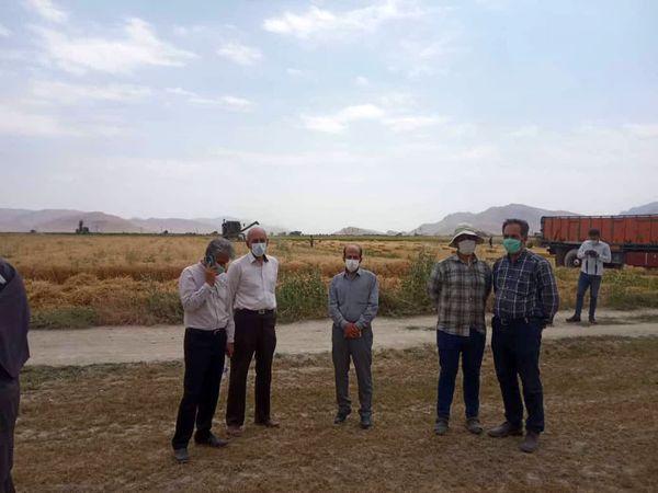 اجرای عملیات کیل گیری از مزارع گندم آبی بخش گندمان