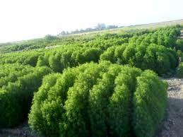 کاشت کوشیا برای اولین بار در استان فارس