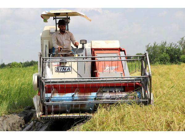 برداشت برنج در 4000 هکتار شالیزار مازندران