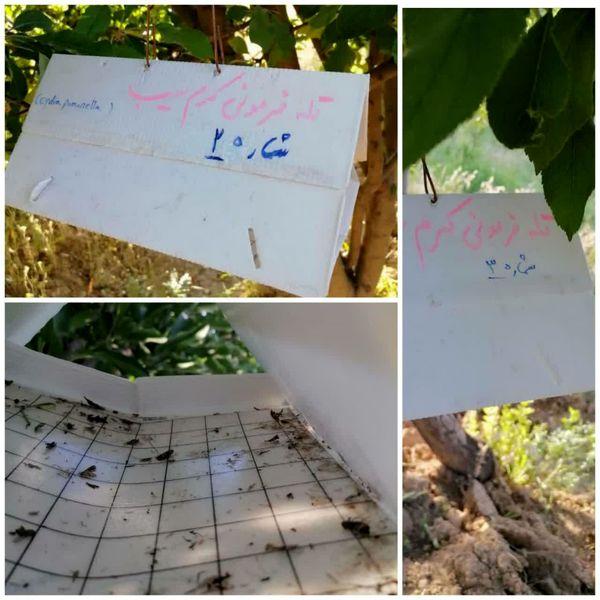 نصب تله های فرمونی در باغات شهرستان اردل