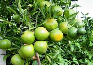 پیش بینی تولید بیش از 2200 تن نارنگی پیشرس در جویبار