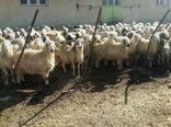 اجرای طرح اصلاح نژاد گوسفند بومی به نژاد رومانف در بخش فلارد