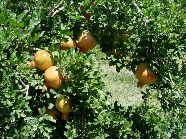 آغاز برداشت انار از باغات سیستان وبلوچستان