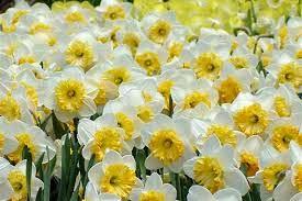 ۲۰ درصد گل نرگس کشور در خوزستان تولید می شود