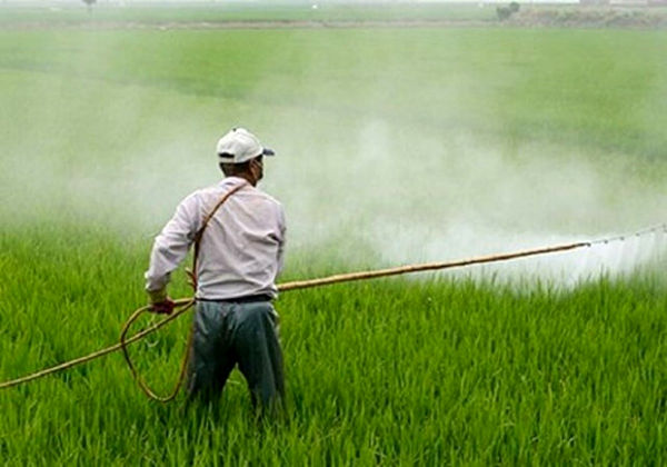 مبارزه با سن غلات در سطح ۷۰۰ هکتار از مزارع کشاورزی شهرستان آبیک انجام شد