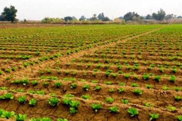 کاشت محصولات زراعی در یزد با وجود بیماری کرونا ادامه دارد