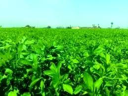 تولید بیش از 120 تن علوفه خشک یونجه