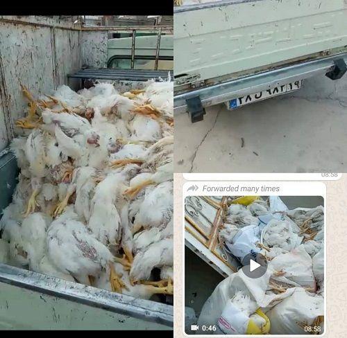 مرگ مرغ ها به علت کرونا تکذیب شد