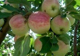 امسال 190 هزار تن سیب تابستانه از باغات آذربایجان غربی برداشت میشود