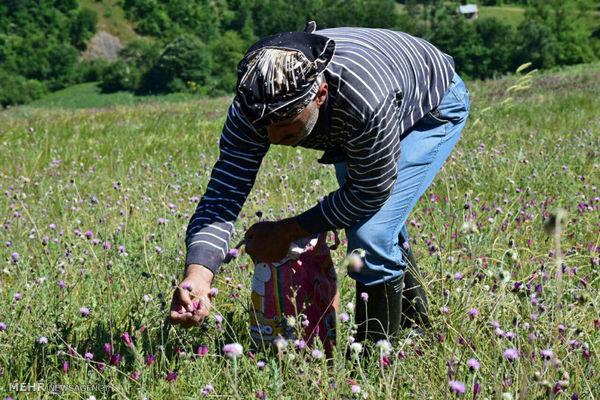 اشتیاق کشاورزان لردگان به کشت گیاهان دارویی